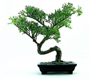 Read more about the article Oozing Bonsai
