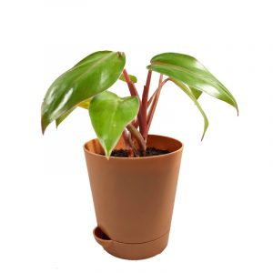 Blushing Philodendron